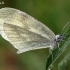 Netikroji garstytė - Leptidea juvernica | Fotografijos autorius : Gintautas Steiblys | © Macrogamta.lt | Šis tinklapis priklauso bendruomenei kuri domisi makro fotografija ir fotografuoja gyvąjį makro pasaulį.