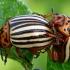 Kolorado vabalai / Dešimtajuosčiai bulviagraužiai - Leptinotarsa decemlineata | Fotografijos autorius : Gintautas Steiblys | © Macrogamta.lt | Šis tinklapis priklauso bendruomenei kuri domisi makro fotografija ir fotografuoja gyvąjį makro pasaulį.