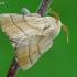 Žieduotasis verpikas - Malacosoma neustria  | Fotografijos autorius : Gintautas Steiblys | © Macrogamta.lt | Šis tinklapis priklauso bendruomenei kuri domisi makro fotografija ir fotografuoja gyvąjį makro pasaulį.