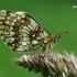 Paprastoji šaškytė - Melitaea athalia  | Fotografijos autorius : Gintautas Steiblys | © Macrogamta.lt | Šis tinklapis priklauso bendruomenei kuri domisi makro fotografija ir fotografuoja gyvąjį makro pasaulį.
