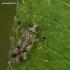 Ilgablauzdė žolblakė - Phytocoris longipennis  | Fotografijos autorius : Gintautas Steiblys | © Macrogamta.lt | Šis tinklapis priklauso bendruomenei kuri domisi makro fotografija ir fotografuoja gyvąjį makro pasaulį.