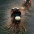 Kerpinis strėlinukas - Moma alpium, vikšras  | Fotografijos autorius : Gintautas Steiblys | © Macrogamta.lt | Šis tinklapis priklauso bendruomenei kuri domisi makro fotografija ir fotografuoja gyvąjį makro pasaulį.