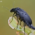 Dygliavabalis - Mordellistena pumila | Fotografijos autorius : Gintautas Steiblys | © Macrogamta.lt | Šis tinklapis priklauso bendruomenei kuri domisi makro fotografija ir fotografuoja gyvąjį makro pasaulį.