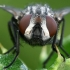 Tikramusė - Musca autumnalis (portretas)  | Fotografijos autorius : Gintautas Steiblys | © Macrogamta.lt | Šis tinklapis priklauso bendruomenei kuri domisi makro fotografija ir fotografuoja gyvąjį makro pasaulį.