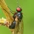 Tikramusė - Muscidae  | Fotografijos autorius : Gintautas Steiblys | © Macrogamta.lt | Šis tinklapis priklauso bendruomenei kuri domisi makro fotografija ir fotografuoja gyvąjį makro pasaulį.