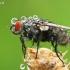 Mėsmusė - Sarcophaga sp.  | Fotografijos autorius : Gintautas Steiblys | © Macrogamta.lt | Šis tinklapis priklauso bendruomenei kuri domisi makro fotografija ir fotografuoja gyvąjį makro pasaulį.