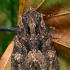 Tamsiarudis vėlyvis - Mniotype (=Blepharita) satura | Fotografijos autorius : Gintautas Steiblys | © Macrogamta.lt | Šis tinklapis priklauso bendruomenei kuri domisi makro fotografija ir fotografuoja gyvąjį makro pasaulį.