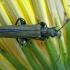Laibavabalis - Oedemera virescens  | Fotografijos autorius : Gintautas Steiblys | © Macrogamta.lt | Šis tinklapis priklauso bendruomenei kuri domisi makro fotografija ir fotografuoja gyvąjį makro pasaulį.