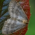 Miškinis žiemsprindis - Operophtera fagata, patinas | Fotografijos autorius : Gintautas Steiblys | © Macrogamta.lt | Šis tinklapis priklauso bendruomenei kuri domisi makro fotografija ir fotografuoja gyvąjį makro pasaulį.