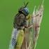Plokščiamusė - Oplodontha viridula | Fotografijos autorius : Gintautas Steiblys | © Macrogamta.lt | Šis tinklapis priklauso bendruomenei kuri domisi makro fotografija ir fotografuoja gyvąjį makro pasaulį.