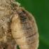 Sodinis šepetinukas - Orgyia antiqua, patelė  | Fotografijos autorius : Gintautas Steiblys | © Macrogamta.lt | Šis tinklapis priklauso bendruomenei kuri domisi makro fotografija ir fotografuoja gyvąjį makro pasaulį.