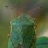 Medinė skydblakė - Palomena prasina | Fotografijos autorius : Gintautas Steiblys | © Macrogamta.lt | Šis tinklapis priklauso bendruomenei kuri domisi makro fotografija ir fotografuoja gyvąjį makro pasaulį.