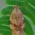 Rudoji choristoneura - Choristoneura diversana  | Fotografijos autorius : Gintautas Steiblys | © Macrogamta.lt | Šis tinklapis priklauso bendruomenei kuri domisi makro fotografija ir fotografuoja gyvąjį makro pasaulį.