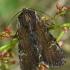 Rudasis pašakninis pelėdgalvis - Apamea crenata | Fotografijos autorius : Gintautas Steiblys | © Macrogamta.lt | Šis tinklapis priklauso bendruomenei kuri domisi makro fotografija ir fotografuoja gyvąjį makro pasaulį.