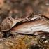 Beržinis kuodis - Pheosia gnoma  | Fotografijos autorius : Gintautas Steiblys | © Macrogamta.lt | Šis tinklapis priklauso bendruomenei kuri domisi makro fotografija ir fotografuoja gyvąjį makro pasaulį.