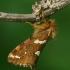 Mažasis šakniagraužis - Phymatopus hecta    Fotografijos autorius : Gintautas Steiblys   © Macrogamta.lt   Šis tinklapis priklauso bendruomenei kuri domisi makro fotografija ir fotografuoja gyvąjį makro pasaulį.