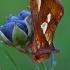 Dirvinis žvilgūnas - Plusia festucae | Fotografijos autorius : Gintautas Steiblys | © Macrogamta.lt | Šis tinklapis priklauso bendruomenei kuri domisi makro fotografija ir fotografuoja gyvąjį makro pasaulį.