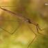 Ilgoji skorpionblakė - Ranatra linearis  | Fotografijos autorius : Gintautas Steiblys | © Macrogamta.lt | Šis tinklapis priklauso bendruomenei kuri domisi makro fotografija ir fotografuoja gyvąjį makro pasaulį.