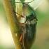 Žaliasis rugiaspragšis - Selatosomus aeneus  | Fotografijos autorius : Gintautas Steiblys | © Macrogamta.lt | Šis tinklapis priklauso bendruomenei kuri domisi makro fotografija ir fotografuoja gyvąjį makro pasaulį.