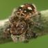 Žiedinis dėmėtšoklis - Sitticus floricola  | Fotografijos autorius : Gintautas Steiblys | © Macrogamta.lt | Šis tinklapis priklauso bendruomenei kuri domisi makro fotografija ir fotografuoja gyvąjį makro pasaulį.