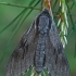 Pušinis sfinksas - Sphinx (=Hyloicus) pinastri  | Fotografijos autorius : Gintautas Steiblys | © Macrogamta.lt | Šis tinklapis priklauso bendruomenei kuri domisi makro fotografija ir fotografuoja gyvąjį makro pasaulį.