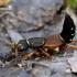 Trumpasparnis - Staphylinus dimidiaticornis  | Fotografijos autorius : Gintautas Steiblys | © Macrogamta.lt | Šis tinklapis priklauso bendruomenei kuri domisi makro fotografija ir fotografuoja gyvąjį makro pasaulį.
