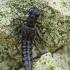 Trumpasparnis - Stenus bimaculatus | Fotografijos autorius : Gintautas Steiblys | © Macrogamta.lt | Šis tinklapis priklauso bendruomenei kuri domisi makro fotografija ir fotografuoja gyvąjį makro pasaulį.