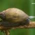 Didžioji gintarė - Succinea putris  | Fotografijos autorius : Gintautas Steiblys | © Macrogamta.lt | Šis tinklapis priklauso bendruomenei kuri domisi makro fotografija ir fotografuoja gyvąjį makro pasaulį.