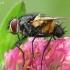 Dygliamusė - Thelaira nigripes | Fotografijos autorius : Gintautas Steiblys | © Macrogamta.lt | Šis tinklapis priklauso bendruomenei kuri domisi makro fotografija ir fotografuoja gyvąjį makro pasaulį.