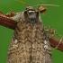 Dvidėmis pūkanugaris - Tethea or | Fotografijos autorius : Gintautas Steiblys | © Macrogamta.lt | Šis tinklapis priklauso bendruomenei kuri domisi makro fotografija ir fotografuoja gyvąjį makro pasaulį.