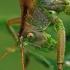Žiogas giesmininkas - Tettigonia cantans   Fotografijos autorius : Gintautas Steiblys   © Macrogamta.lt   Šis tinklapis priklauso bendruomenei kuri domisi makro fotografija ir fotografuoja gyvąjį makro pasaulį.