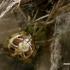 Tamsiakraštis kilpininkas - Phylloneta (=Theridion) impressa ♀  | Fotografijos autorius : Gintautas Steiblys | © Macrogamta.lt | Šis tinklapis priklauso bendruomenei kuri domisi makro fotografija ir fotografuoja gyvąjį makro pasaulį.