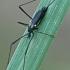 Uodas - Molophilus ater  | Fotografijos autorius : Gintautas Steiblys | © Macrogamta.lt | Šis tinklapis priklauso bendruomenei kuri domisi makro fotografija ir fotografuoja gyvąjį makro pasaulį.