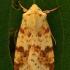 Geltonasis vėlyvis - Xanthia icteritia | Fotografijos autorius : Gintautas Steiblys | © Macrogamta.lt | Šis tinklapis priklauso bendruomenei kuri domisi makro fotografija ir fotografuoja gyvąjį makro pasaulį.