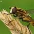 Žiedmusė - Helophilus hybridus  | Fotografijos autorius : Gintautas Steiblys | © Macrogamta.lt | Šis tinklapis priklauso bendruomenei kuri domisi makro fotografija ir fotografuoja gyvąjį makro pasaulį.