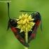 Paprastieji marguoliai - Zygaena lonicerae | Fotografijos autorius : Gintautas Steiblys | © Macrogamta.lt | Šis tinklapis priklauso bendruomenei kuri domisi makro fotografija ir fotografuoja gyvąjį makro pasaulį.