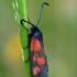 Mažasis marguolis - Zygaena viciae | Fotografijos autorius : Gintautas Steiblys | © Macrogamta.lt | Šis tinklapis priklauso bendruomenei kuri domisi makro fotografija ir fotografuoja gyvąjį makro pasaulį.
