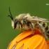 Gauruotakojė bitė - Dasypoda altercator  | Fotografijos autorius : Gintautas Steiblys | © Macrogamta.lt | Šis tinklapis priklauso bendruomenei kuri domisi makro fotografija ir fotografuoja gyvąjį makro pasaulį.