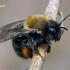 Klarko smėliabitė - Andrena clarkella  | Fotografijos autorius : Gintautas Steiblys | © Macrogamta.lt | Šis tinklapis priklauso bendruomenei kuri domisi makro fotografija ir fotografuoja gyvąjį makro pasaulį.