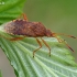 Geltonpilvė kampuotblakė - Rhopalus maculatus  | Fotografijos autorius : Gintautas Steiblys | © Macrogamta.lt | Šis tinklapis priklauso bendruomenei kuri domisi makro fotografija ir fotografuoja gyvąjį makro pasaulį.