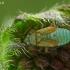 Pieninė žolblakė - Placochilus seladonicus, nimfa | Fotografijos autorius : Gintautas Steiblys | © Macrogamta.lt | Šis tinklapis priklauso bendruomenei kuri domisi makro fotografija ir fotografuoja gyvąjį makro pasaulį.