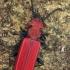 Purpurinis plokščiavabalis - Cucujus cinnaberinus  | Fotografijos autorius : Gintautas Steiblys | © Macrogamta.lt | Šis tinklapis priklauso bendruomenei kuri domisi makro fotografija ir fotografuoja gyvąjį makro pasaulį.