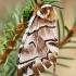 Keršasparnis verpikas - Endromis versicolora, patelė  | Fotografijos autorius : Gintautas Steiblys | © Macrogamta.lt | Šis tinklapis priklauso bendruomenei kuri domisi makro fotografija ir fotografuoja gyvąjį makro pasaulį.