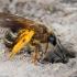 Vagabitė - Halictus sexcinctus  | Fotografijos autorius : Gintautas Steiblys | © Macrogamta.lt | Šis tinklapis priklauso bendruomenei kuri domisi makro fotografija ir fotografuoja gyvąjį makro pasaulį.