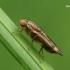 Musė - Opomyza germinationis | Fotografijos autorius : Gintautas Steiblys | © Macrogamta.lt | Šis tinklapis priklauso bendruomenei kuri domisi makro fotografija ir fotografuoja gyvąjį makro pasaulį.