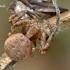 Plėšrusis krabvoris - Xysticus lanio, subadult patinas | Fotografijos autorius : Gintautas Steiblys | © Macrogamta.lt | Šis tinklapis priklauso bendruomenei kuri domisi makro fotografija ir fotografuoja gyvąjį makro pasaulį.