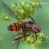 Krabvoris - Xysticus sp. su žiedmuse  | Fotografijos autorius : Gintautas Steiblys | © Macrogamta.lt | Šis tinklapis priklauso bendruomenei kuri domisi makro fotografija ir fotografuoja gyvąjį makro pasaulį.