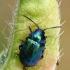 Rūgštyninis rūgtinukas - Gastrophysa viridula | Fotografijos autorius : Gintautas Steiblys | © Macrogamta.lt | Šis tinklapis priklauso bendruomenei kuri domisi makro fotografija ir fotografuoja gyvąjį makro pasaulį.
