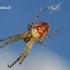Rudeninis skylūnėlis - Metellina segmentata  | Fotografijos autorius : Gintautas Steiblys | © Macrogamta.lt | Šis tinklapis priklauso bendruomenei kuri domisi makro fotografija ir fotografuoja gyvąjį makro pasaulį.