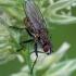 Tikramusė - Coenosia tigrina | Fotografijos autorius : Gintautas Steiblys | © Macrogamta.lt | Šis tinklapis priklauso bendruomenei kuri domisi makro fotografija ir fotografuoja gyvąjį makro pasaulį.